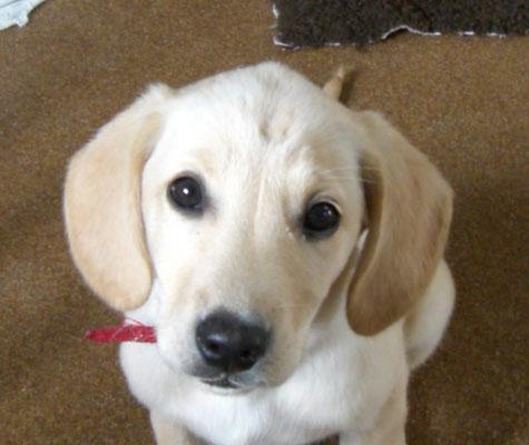 Belem chiot beige avec des oreilles plus foncées