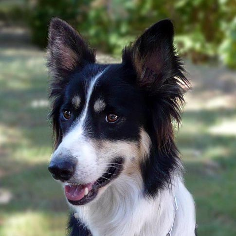 chien guide border collie 1