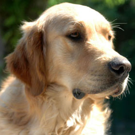 chien guide golden retriever 1