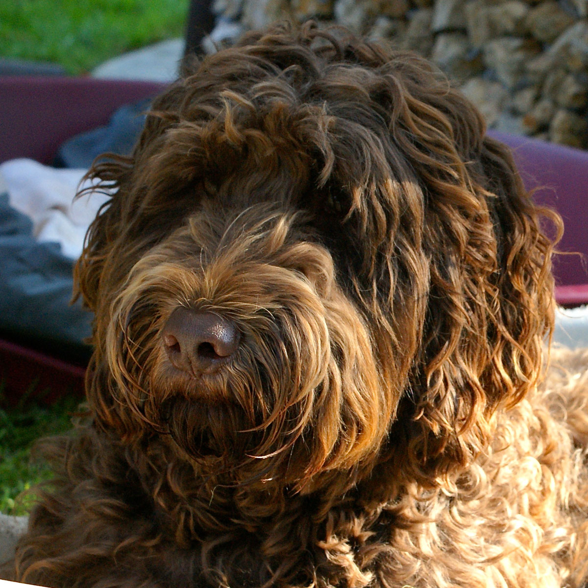 chien guide labradoddle 1