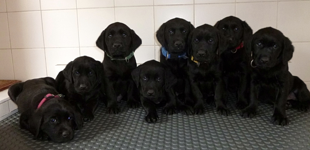 Portée de labradors noirs