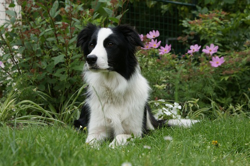 chien-guide-border-collie-2.jpg