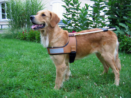chien-guide-golden-retriever-2.jpg