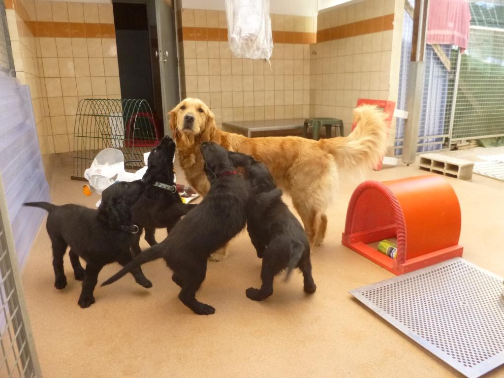 Jumbo, Juno, Jazzie et Jipsie avec un Golden adulte