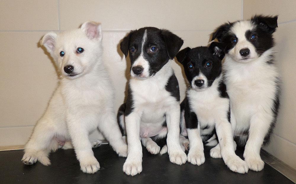de gauche à droite: Lika, Lino, Lingo et Lenox