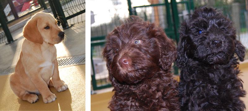 Light, Lemi et Lima futurs chiens guides