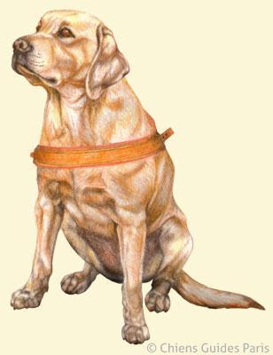 flash avec son harnais de chien guide