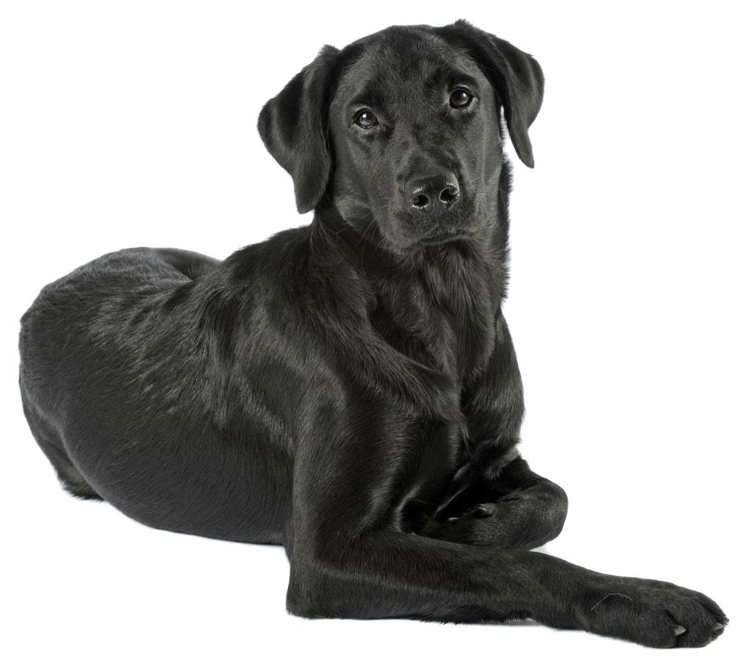 Labrador noir - chien guide Paris