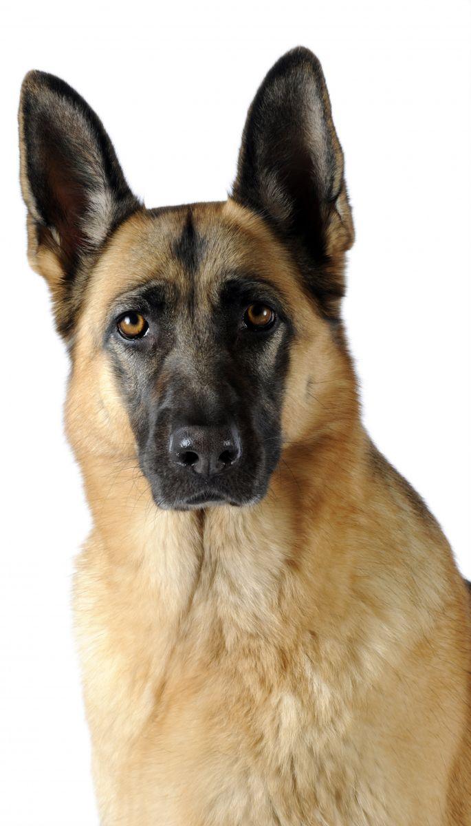 Berger allemand - chien guide Paris