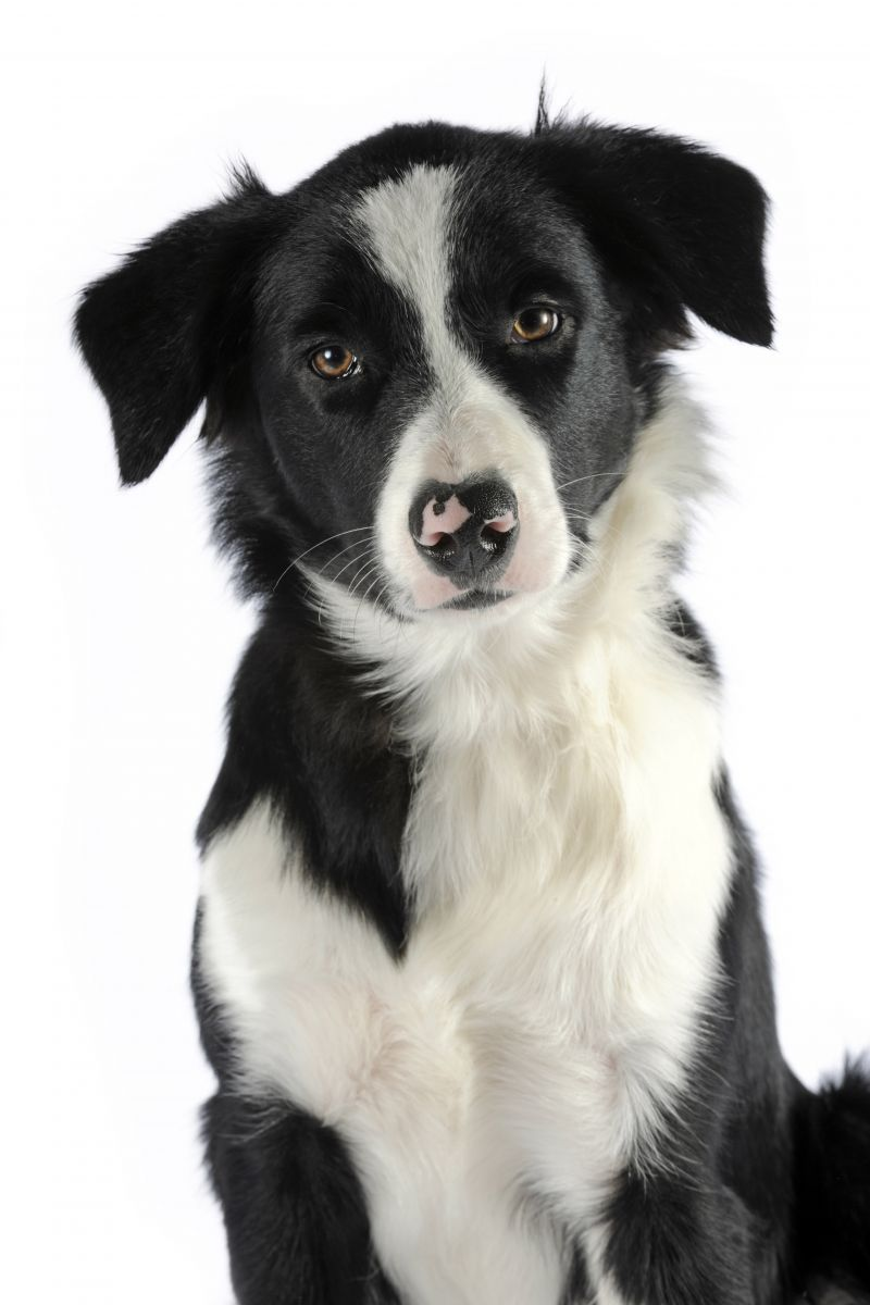 Border collie - chien guide Paris